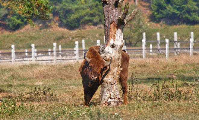 Imagini pentru rezervatia zimbrilor vama buzaului